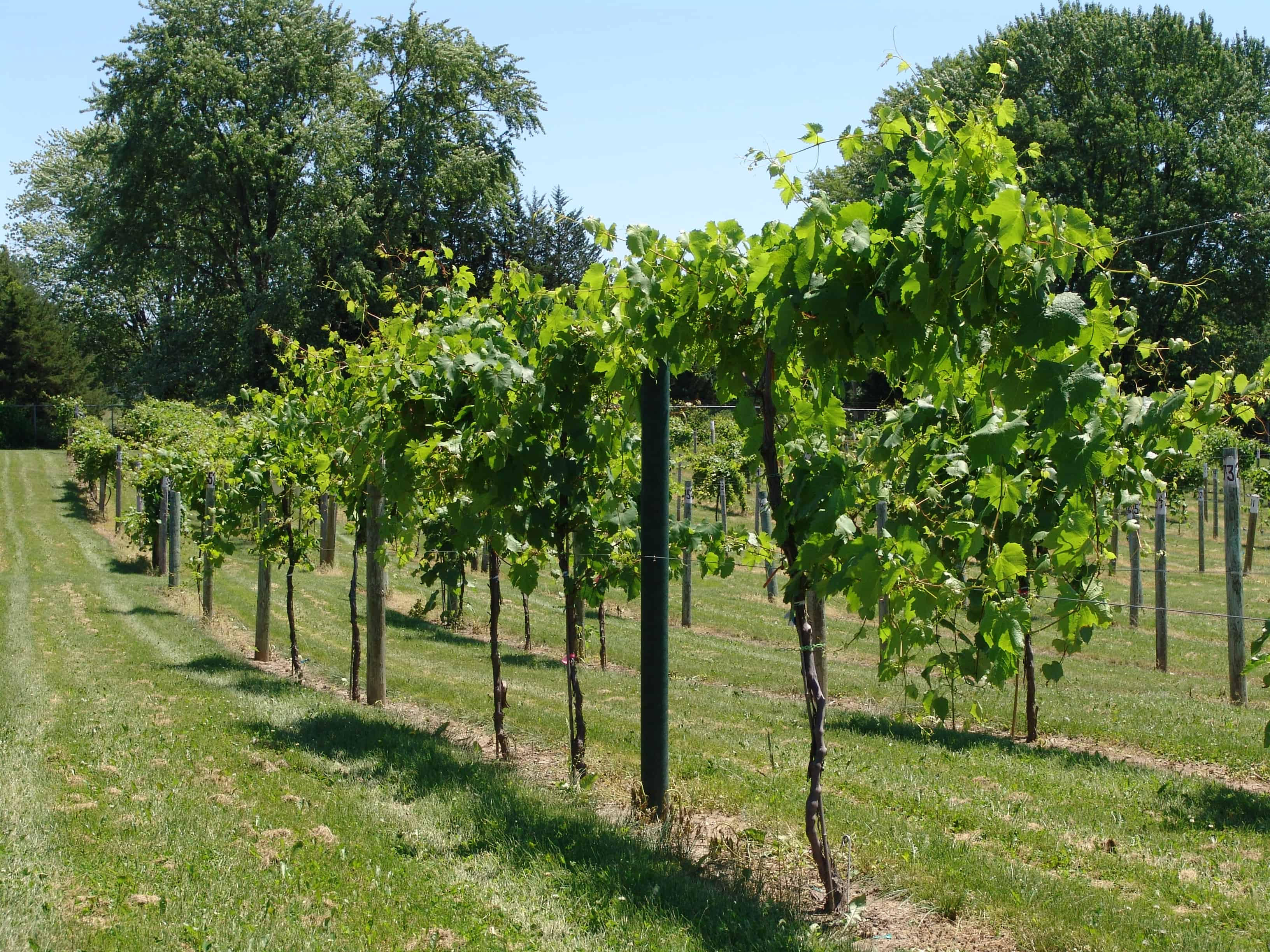 series of recycled plastic vineyard posts